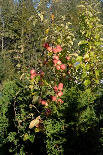 Norkent apples on the tree