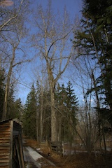 Mature Balsam Poplar in Early Spring