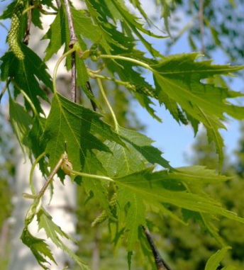 Cutleaf birch leaves