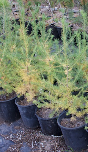 2 year old Western Larch