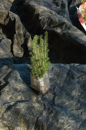 Bundle of spruce seedlings