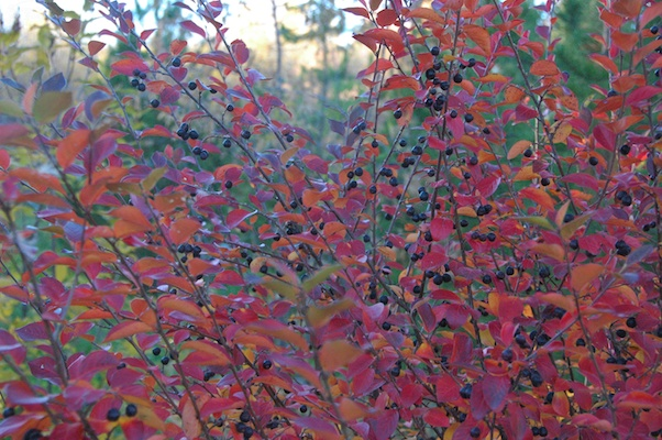 cotoneaster hedge fall colour