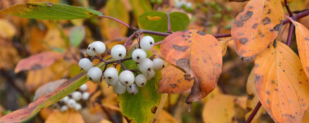 Dogwood Fall Colour