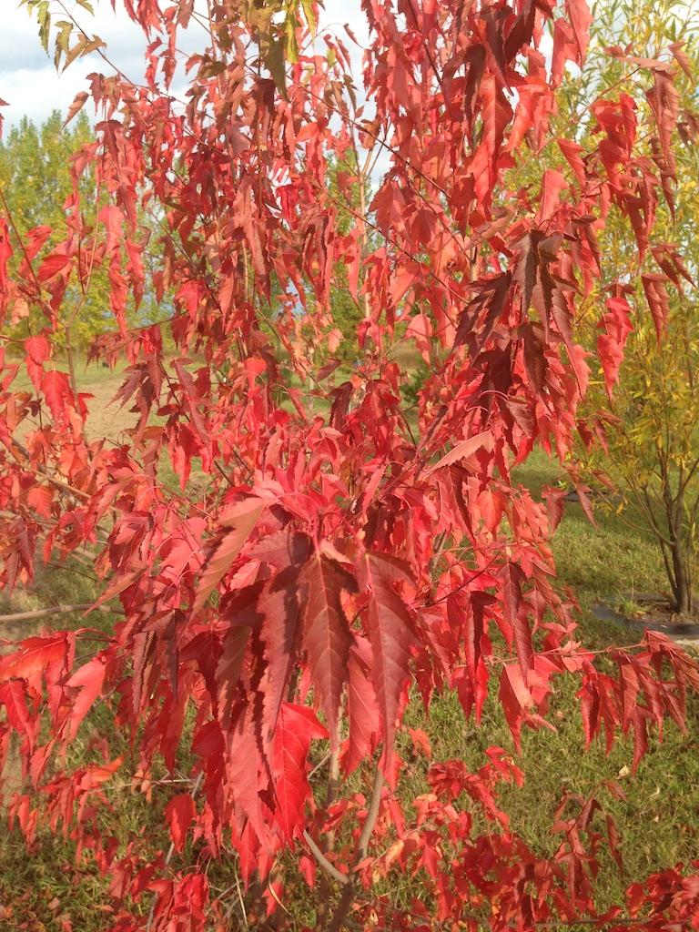 Trees Shrubs For Fall Colour