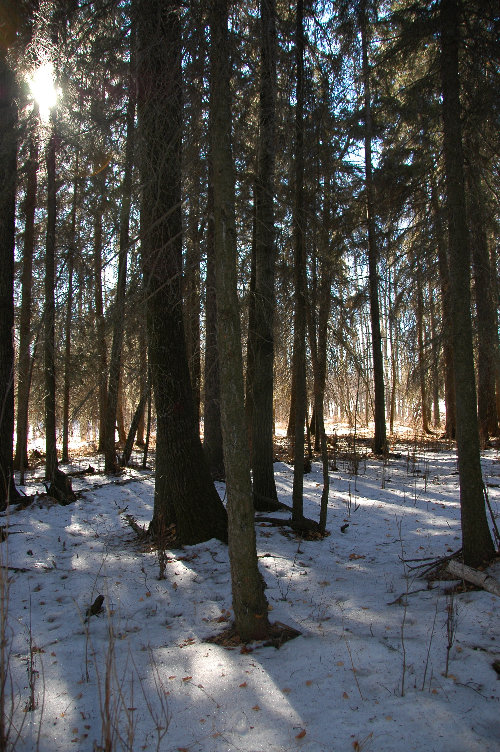 Spruce forest floor in winter