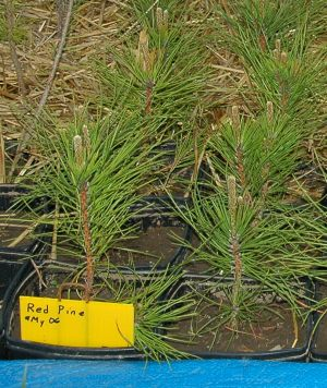 Red pine showing dirt in pot