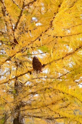 Larch-Autumn