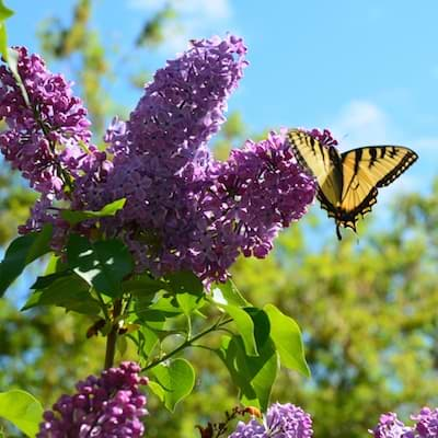 Common Lilac Butterfly
