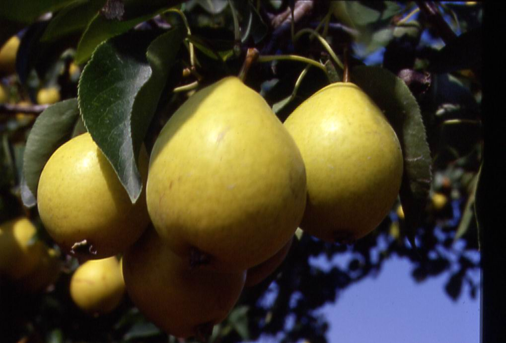 Early Gold pears on the tree