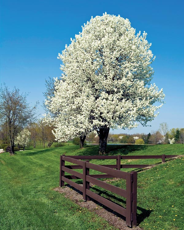 pear tree in bloom