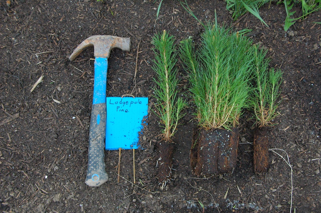Lodgepole seedlings