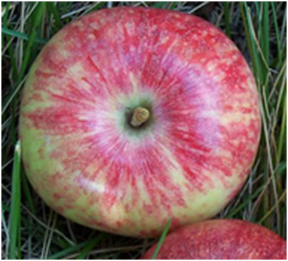 Battleford Apple Fruit
