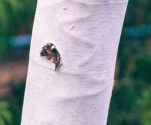 Bronze Birch Borer Galleries