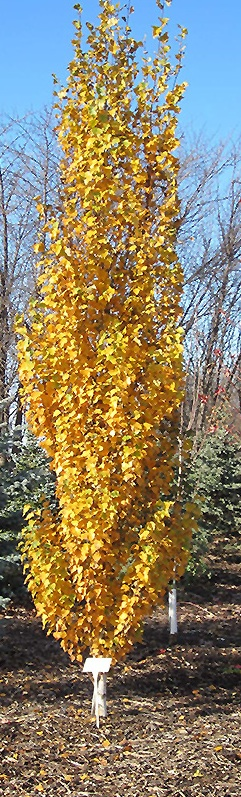 Parkland Pillar in Fall Colour