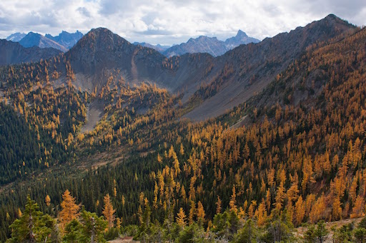 Larch from valley to timberline
