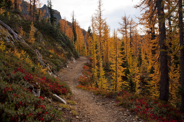 Western Larch, Hart's Pass