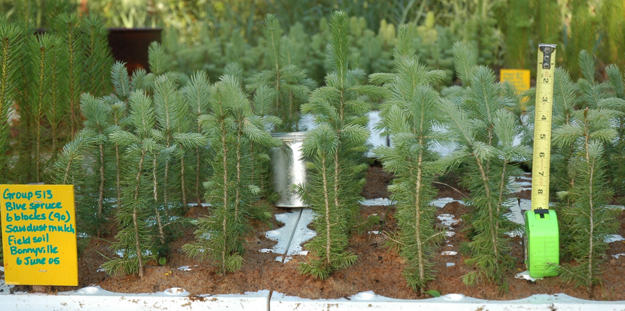 Colorado Spruce Seedlings