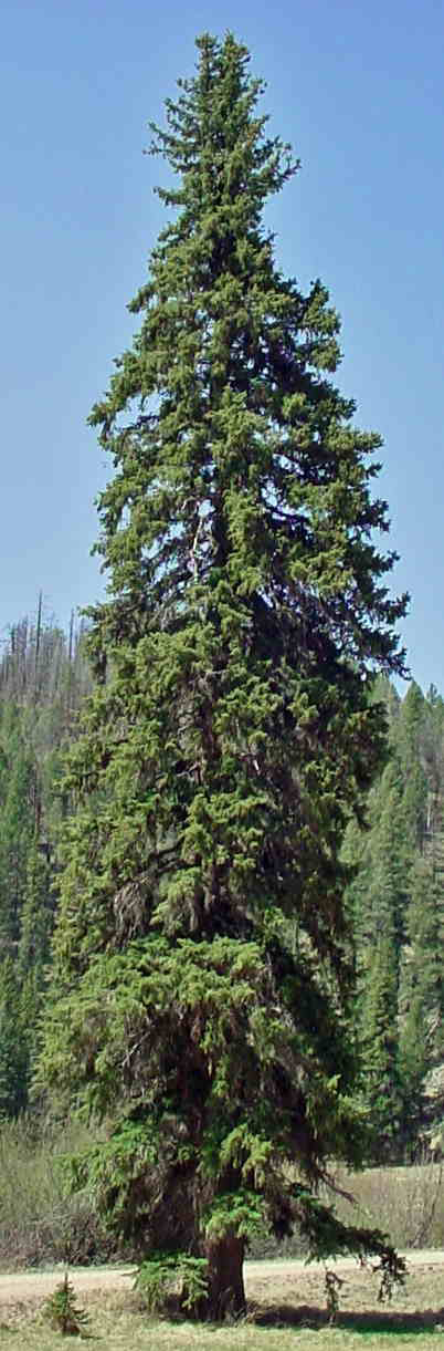 Colorado Spruce in northern Arizona
