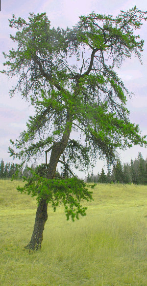 Jack Pine in open field