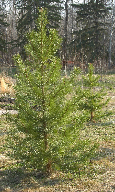Lodgepole Pine in yard