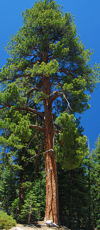 Overview of pines for Mature pine trees