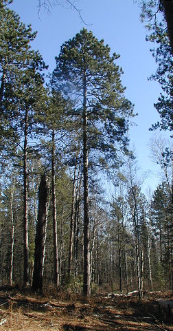 Red pine for Mature pine trees