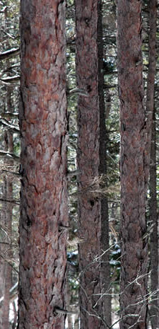 Red Pine trunks