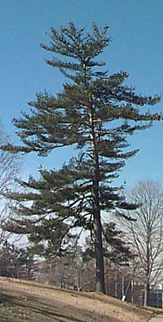 Eastern white pine for Mature pine trees