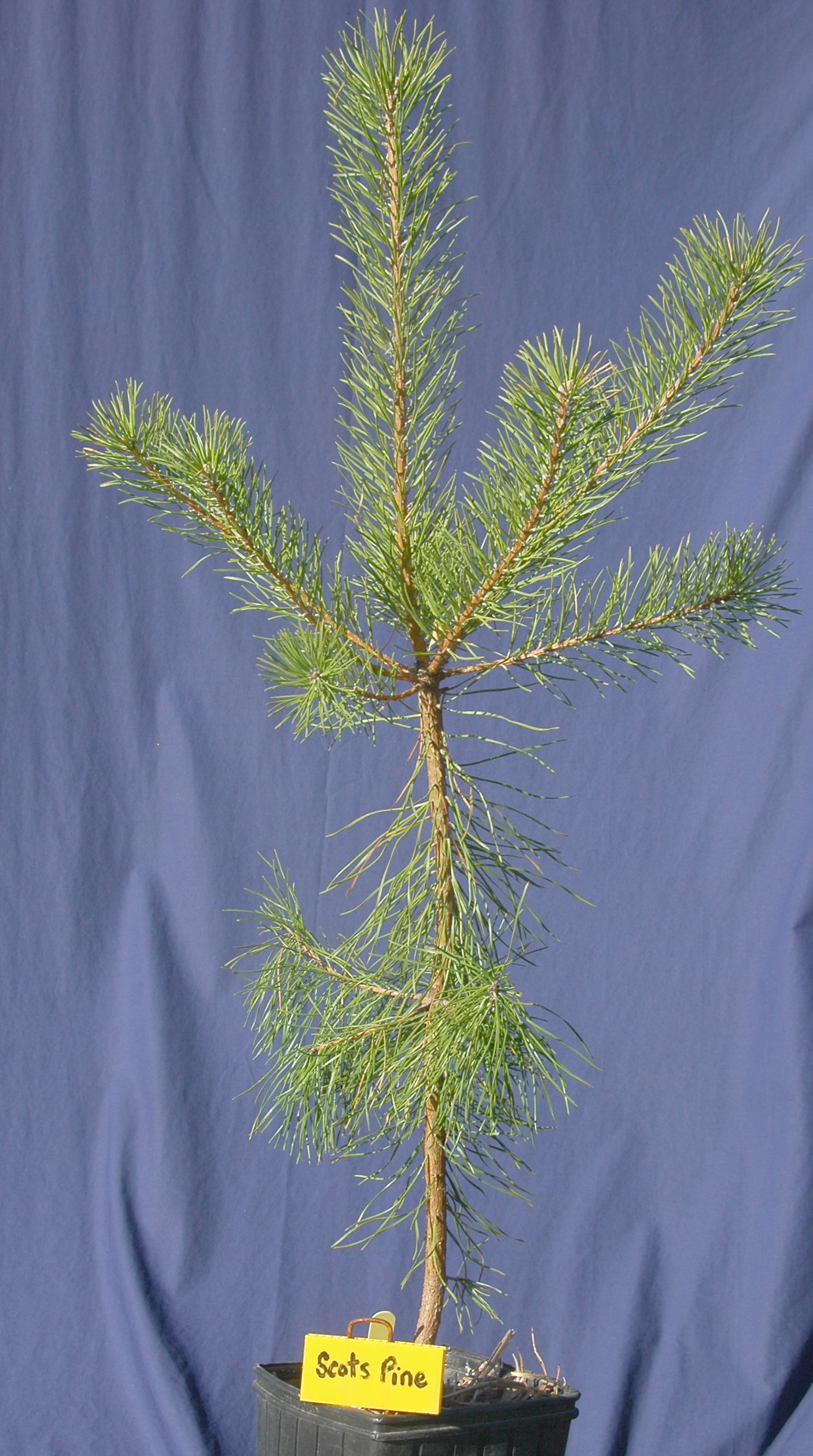 Scots Pine in 2 gallon stuewe pot