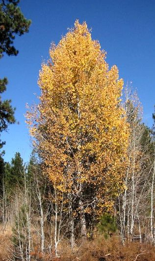 Trembling aspen in Fall Colours