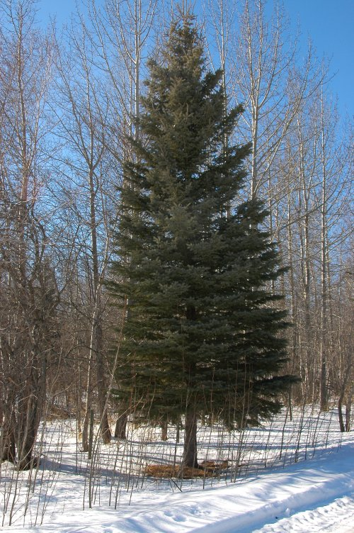 Middle-aged White  Spruce