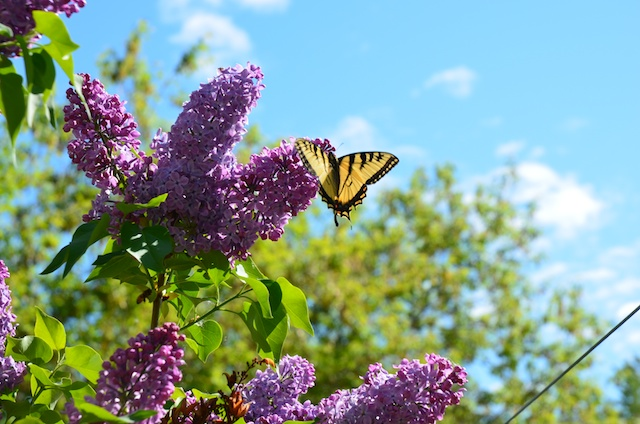 Common Lilac and swallowtail butterfly