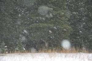 Spruce Trees in Snowstorm